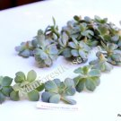 Echeveria subsessilis Blue small cutting succulent plant