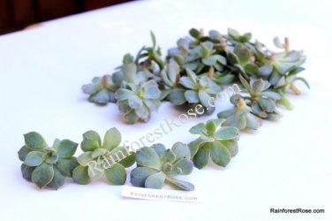 Echeveria subsessilis Blue small cutting succulent plant