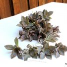 Graptoveria hybrid Fred Ives small cutting succulent plant