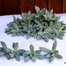 Pachyphytum hookeri small cutting succulent plant