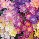 Lewisia cotyldeon Rainbow Mix 72 plants USA grown bulk Bitterroot Zone 5-8