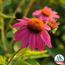 Echinacea PowWow Wild Berry (72) perennial plants Coneflower Zone 3-9