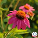 Echinacea PowWow Wild Berry SHORT DAY 72 plants Coneflower Zone 3-9