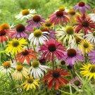 Echinacea Cheyenne Spirit Short Day 72 plants Coneflower USA Zone 4-9