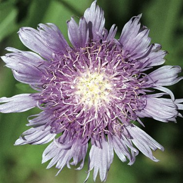 Stokesia laevis (50) perennial plants Product USA Aster Zone 5-9 FLOWERS