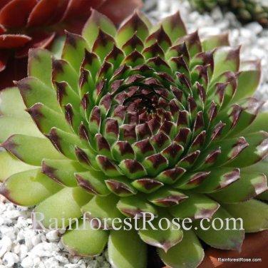 50 Sempervivum Appletini plants cactus succulents hens and chicks Zone 3-11