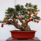 BONSAI - Dwarf Pomegranate