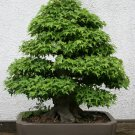 BONSAI - Trident Maple