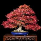 BONSAI - Japanese Red Maple
