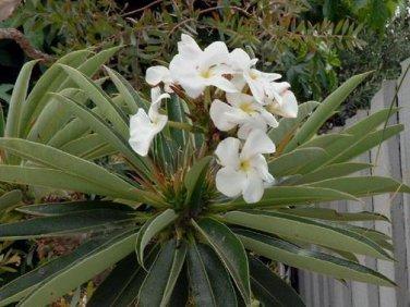 MADIGASCAR PALM - Pachypodium Lamerei