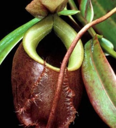 CARNIVOROUS - Nepenthes