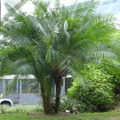 PALMS - Cliff Date Palm - Phoenix Rupicola