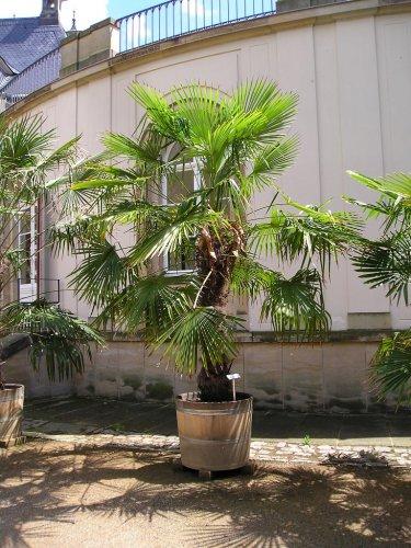 PALMS - Windmill palm - Trachycarpus Fortunei