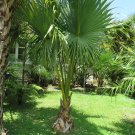 PALMS - Dwarf Palmetto Palm - Sabal Minor