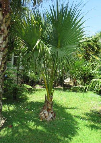 PALMS - Dwarf Palmetto Palm - Sabal Minor