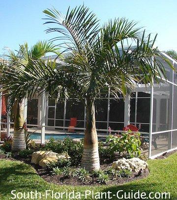PALMS - Spindle Palm - Hyophorbe Verschaffeltii