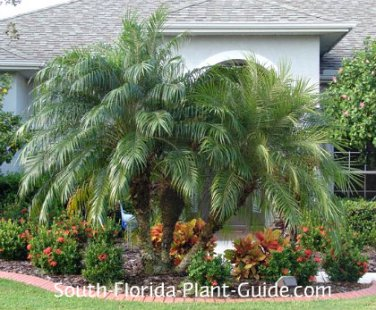 PALMS - Pygmy Date Palm - Phoenix Roebelenii