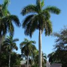 PALMS - Royal Palm - Roystonea Regia