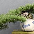 BONSAI - Mugo Pine