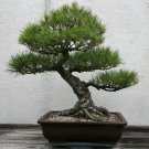 BONSAI - Japanese Black Pine