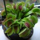 CARNIVOROUS - Venus flytrap - Dionaea muscipula - '1979'
