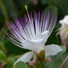 FLINDERS ROSE - Capparis spinosa