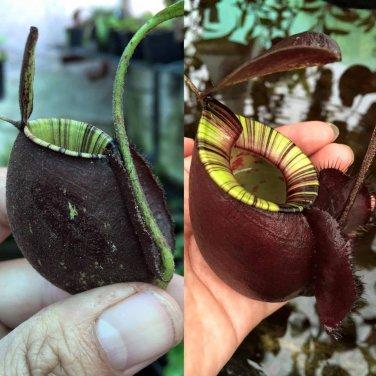 Nepenthes [(viking x Ampullaria) x Ampullaria Black Miracle] x (viking x Ampullaria Black Miracle)