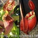 Nepenthes viking x Ampullaria x viking x rafflesiana