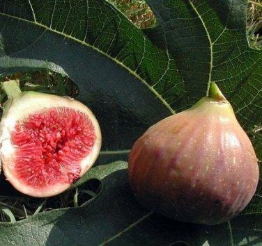 COCONUT STRAWBERRY FIG - Elephant Ear Fig