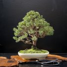 BONSAI - White Spruce