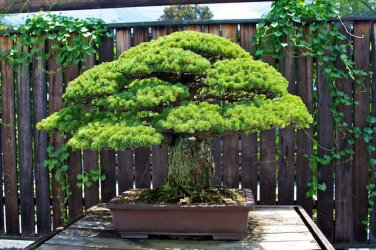 BONSAI - Japanese White Pine
