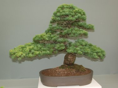 BONSAI - Chinese White Pine