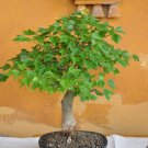 BONSAI - Montpellier Maple