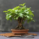 BONSAI - Amur Maple