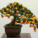 BONSAI - Calamondin