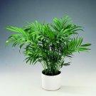 Parlor Palm - Chamaedorea Elegans