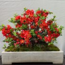 BONSAI - Flowering Quince