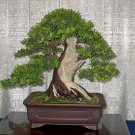 BONSAI - English Yew