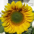 HUGE SUNFLOWER - helianthus giganteus