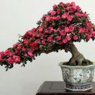BONSAI - Japanese Camellia