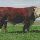 POLLED HEREFORD BULL  CROSS STITCH PATTERN PDF ONLY