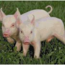 BABY PIG PAIR CROSS STITCH PATTERN PDF ONLY
