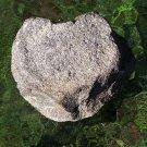 Metaxytherium floridanum (Manatee/Dugong/Sea Cow), Vetrebra, Miocene, FLA, #0002