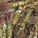 Catha Edulis (Khat/ Bushman's Tea) - Whole Plant 250 grams/ 9oz