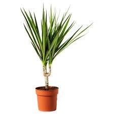6 foot palm tree