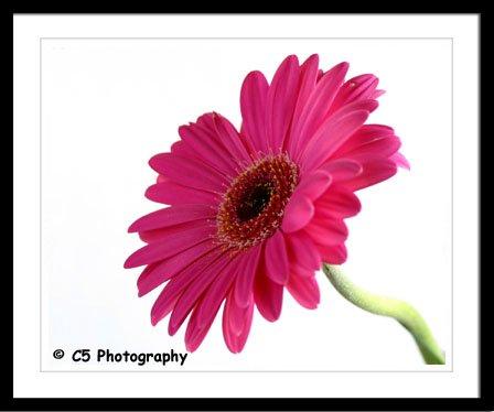 Gerber Daisy (Flower 11b) - 8x10 Matted Photograph