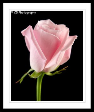Pink Rose (Flower 050e) - 8x10 Matted Photograph