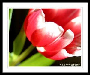 Tulip (Flower 25a) - 8 x 10 Matted Photograph
