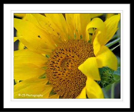 Yellow Sunflower 38a - 8 x 10 matted Photograph