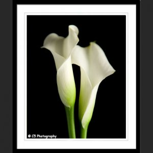 White Calla Lilies 43c - 8x10 Matted Photograph